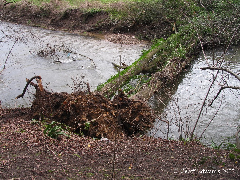 tree fallen across the River Frome Somerset