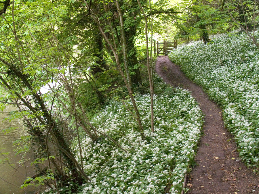 Woods and spring Garlic Flowering beside the River Frome in Somerset